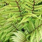 Athyrium vidalli* (1 Bare Root)
