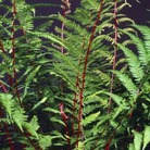 Athyrium Lady in Red* (1 Bare Root)