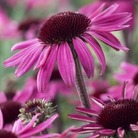Echinacea After Midnight* (1 Bare Root)