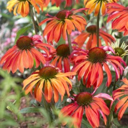 Echinacea Summer Sun* (1 Bare Root)