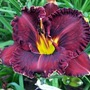 Hemerocallis Collection* (5 Bare Roots)