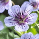 Hardy Geranium Crystal Lake* (1 Bare Root)