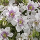 Hardy Geranium Double Jewel* (1 Bare Root)