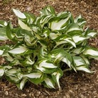 Hosta Fire and Ice* (1 Bare Root)