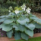 Hostas Collection* (5 Bare Roots)