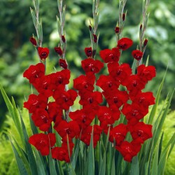 Butterfly Gladioli Velvet Joy* (15 Corms)