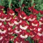 Butterfly Gladioli Lady of Paris* (15 Corms)