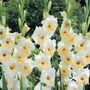Butterfly Gladioli Ice Cream* (15 Corms)