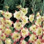 Butterfly Gladioli Treasure* (15 Corms)