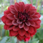 Dark Dahlia Arabian Night* (1 Tuber)