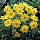Dwarf Dahlia Yellow Sneezy* (1 Tuber)