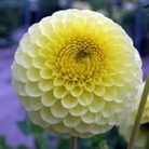 Pom Pon Dahlia Golden Torch* (1 Tuber)