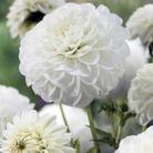Pom Pon Dahlia White Aster* (1 Tuber)