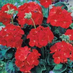 Geranium Combo Pack* (48 Medium Plants)