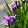 Complete Pond Plant Collection* (15 Plants)