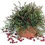 Cranberry Pilgrim 1 Bush