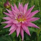 Cactus Dahlia Karma Pink Corona* ( 1 Tuber)