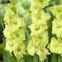 Lrg Flowered Gladioli Collection* (75 Corms)