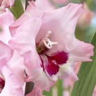 Lrg Flowered Gladioli Wine & Roses* (15 Corms)