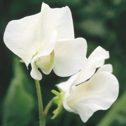 Valentine Sweet Pea Seeds