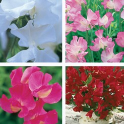 Classic Sweet Pea Seed Collection