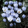 Crocus Natural Blue Pearl