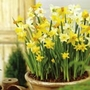 Daffodil Miniature Mix