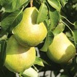 Invincible Pear