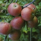 Apple Trees - Collection
