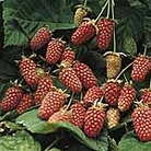 Loganberry Plant - LY654