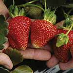 Strawberry Albion Plants (Fragaria)