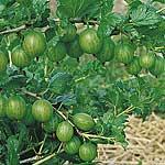Gooseberry Plants - Invicta
