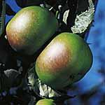 Apple Tree - Bramley (Clone 20)