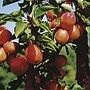 Apricot Flavourcot