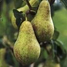 Pear Tree - Concorde