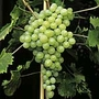 Grape Vine Perlette