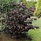 Nut Tree - Purple Filbert