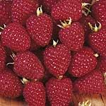 Raspberry Plants - Malling Minerva