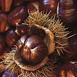 Nut Tree - Sweet Chestnut Regal