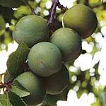 Gage Tree - Greengage Mannings Selection