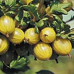 Gooseberry Plant - Hinnonmaki Yellow