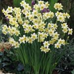 Daffodil (<i>Narcissus</i>) Minnow (Tazetta)