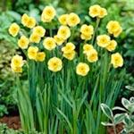 Daffodil Sundisc (<i>N. triandrus</i>)