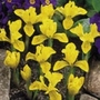 Iris Miniature Danfordiae