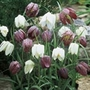 Fritillaria Meleagris