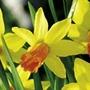 Daffodil Jetfire (<i>N. cyclamineus</i>)