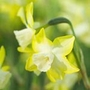 Daffodil Pipit (Jonquilla)