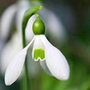 Snowdrop Single (Galanthus)