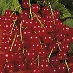 Redcurrant Plants - Rovada