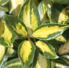 Elaeagnus x ebbingei 'Limelight' (oleaster)